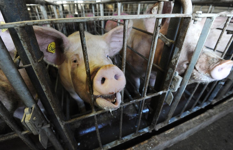 Фермер умер после того, как свинья откусила ему гениталии и пальцы