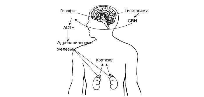 Принцип работы гормона Кортизол