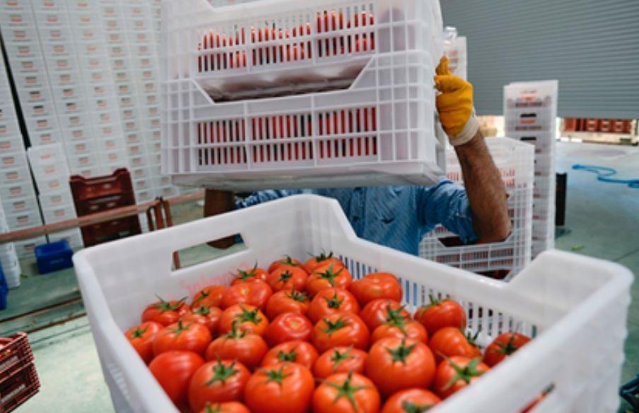 Турецкие помидоры прибыли в РФ