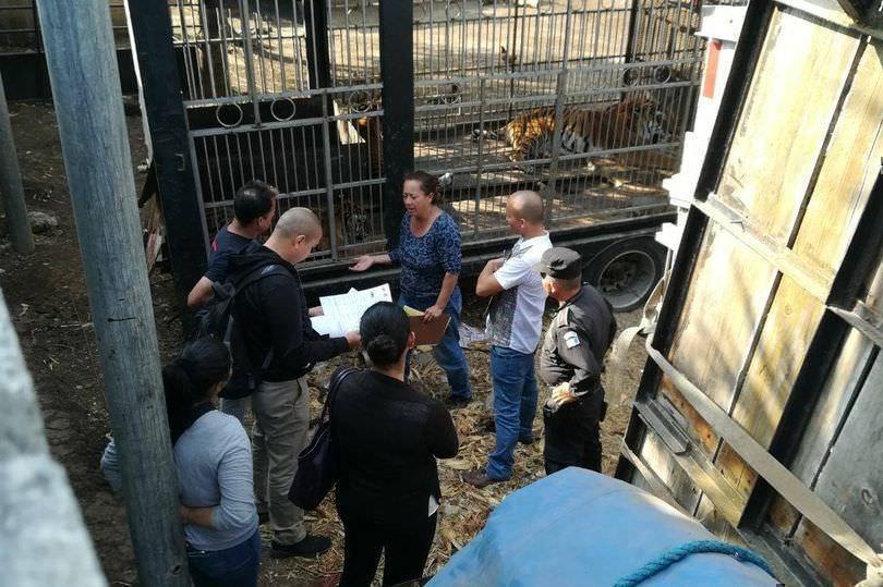 Тигры лишили кормившего их сотрудника цирка рук
