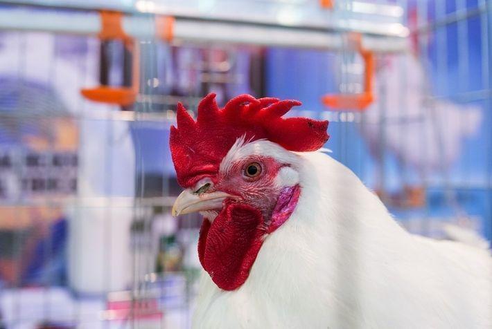 Глава Новокузнецка заставил предпринимателей нюхать куриный помёт