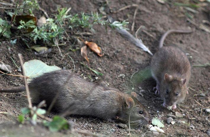 Шведский город заполонили гигантские крысы