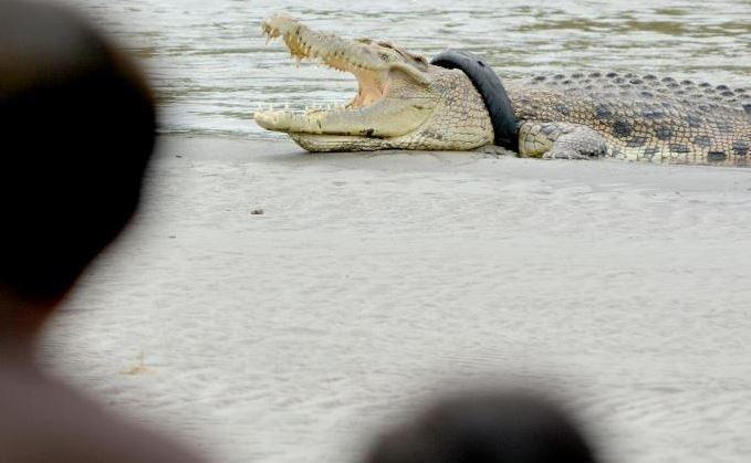 В Индонезии люди убили почти 300 крокодилов, чтобы отомстить за друга