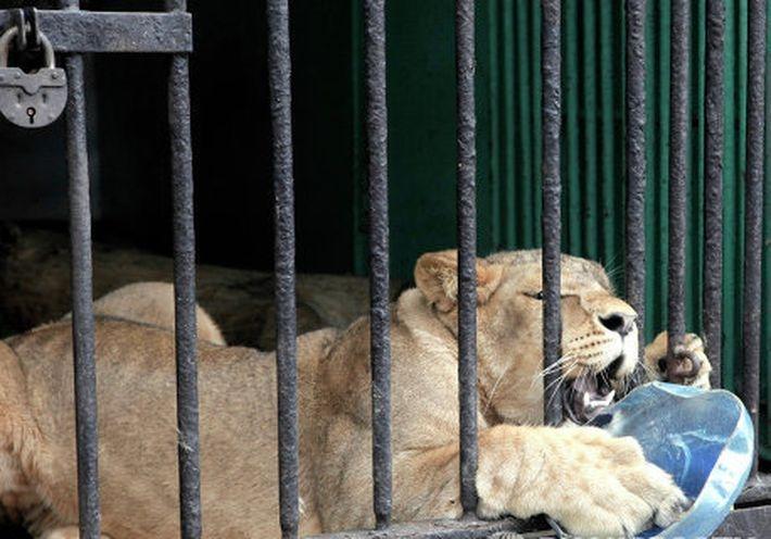 """Животным в Ленинградском зоопарке готовят ледяные """"торты"""""""