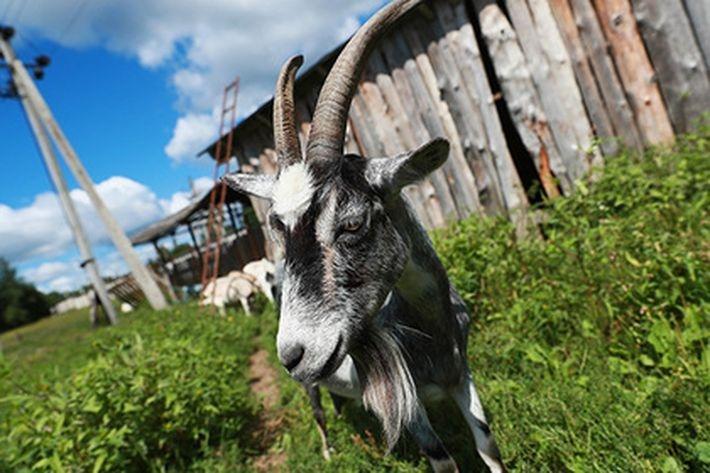 Шнуров в стихотворении сравнил налог для безработных россиян с попыткой подоить козла