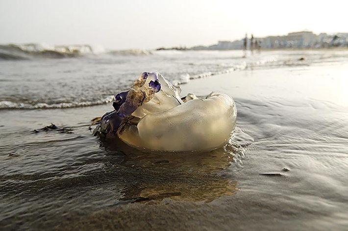 В Краснодарском крае на берег выбросило ядовитых медуз