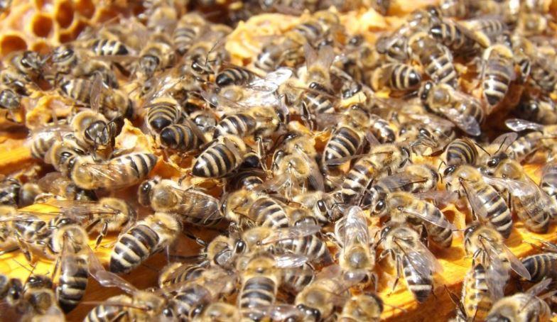 Ученые из Новой Зеландии доказали, что мозг человека и пчелы работает почти идентично 1