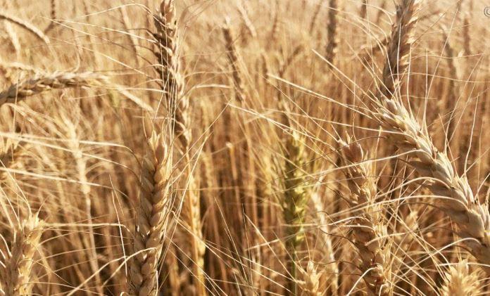 США предсказали России рекордный урожай пшеницы 1