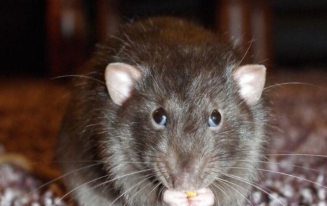 Оголодавшие из-за пандемии крысы атаковали города США thumbnail