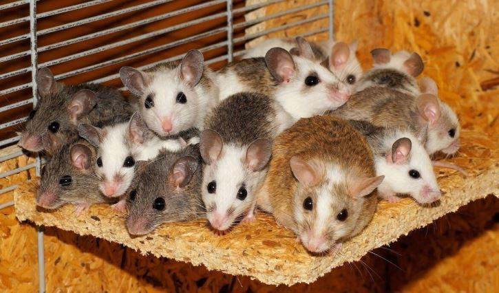 Ткани побывавших в космосе мышей поделят между учеными трех стран thumbnail