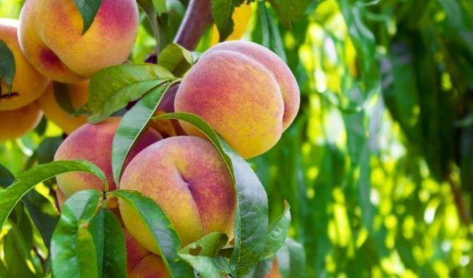 Биолог назвал уникальные свойства персиков 1