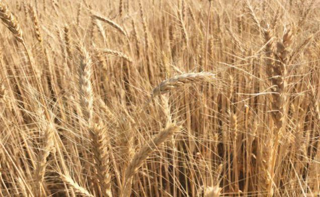 Немецкие аналитики спрогнозировали скачок урожая пшеницы в России 1
