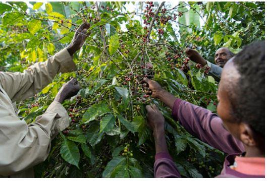 Предсказано исчезновение кофе из-за глобального потепления