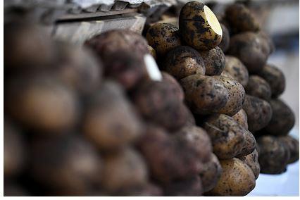 Белоруссию попросят помочь России с картофелем