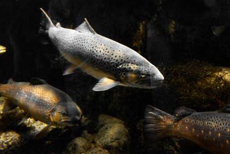 Ученые обнаружили у рыб зависимость от наркотиков