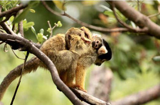 В Китае зафиксирована первая смерть человека от вируса обезьяны